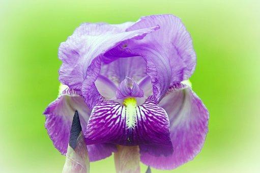 Iris, Dwarf, Violet, Flower, Nature, Purple Flowers