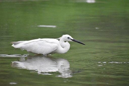 Siberian Crane, Reflection, White Bird