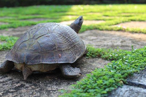 Tortoise, Reptile, Tropical, Endangered, Animal