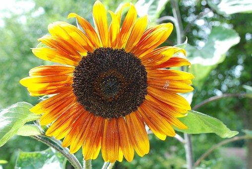 Sun Flower, Summer, Blossom, Bloom, Flower, Nature