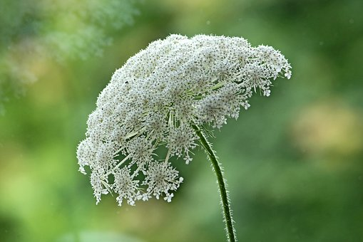 Wild Carrot, Summer, Nature, Wild Plant, Meadow