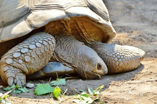 Turtle, Reptile, Tortoise, Tortoise Shell