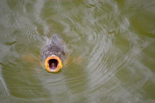 Fish, Pond, Water, Nature, Park, Carp, Fauna