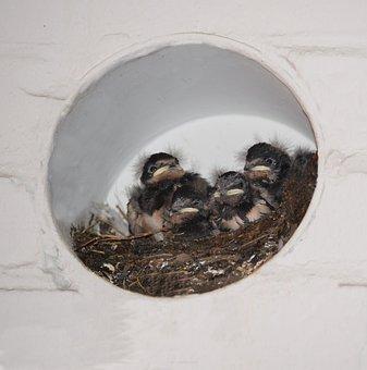 Barn Swallows, Nest, Bird Boy, Sweet