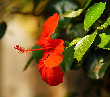 Flower, Blossom, Bloom, Red Flower, Tropical House