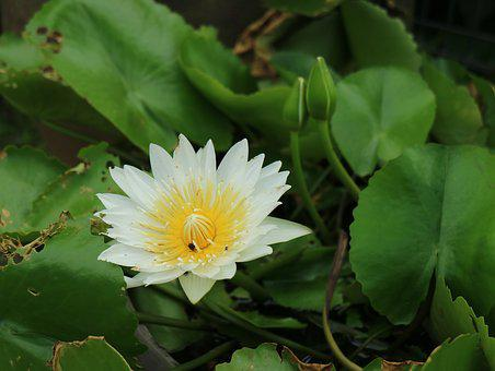 Flowering, Lotus Pond, Bloom, White 蓮 Flower