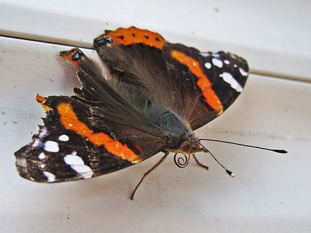 Butterfly, Atalanta, Vanessa Atalanta, Spring, Bug