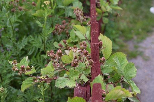 Blackberry, Bush, Swedish Berries, Nature, Berry