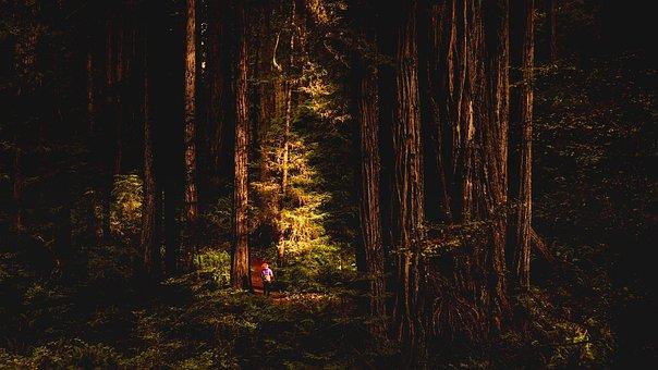 Redwoods, California, Landscape, Tourism, Forest, Trees