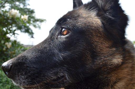 Shepherd Dog, Belgian Malinois, Dog, Pet