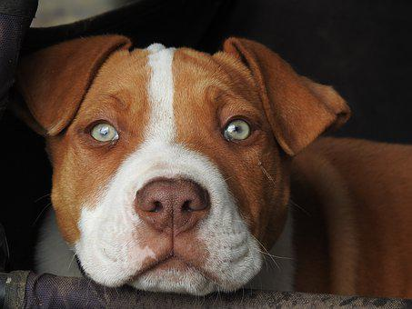 Pup, Puppy, Red Puppy, Pitbull, Dog, Contemplative