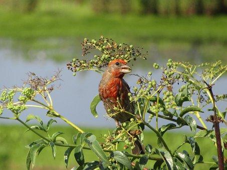 Bird, House Finch, Finch, Wildlife, Nature, Avian
