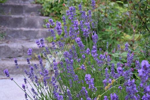 Lavender, Garden, Purple, Flowers, Bee, Bumblebee