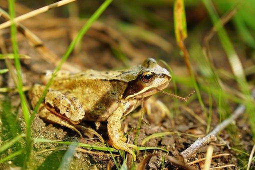 Frog, Grass, Green, Animal, Meadow, Nature, Amphibians