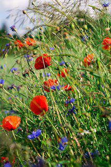 Poppies, Charby, Flowers, Meadow, Spring, Garden