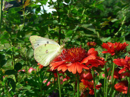 Butterfly, My, Garden