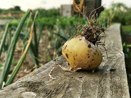 Onion, Onions, Vegetables, Garden, Gardening, Gardener