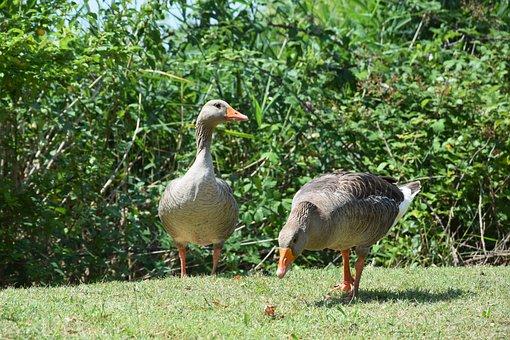 Geese, Animals, Bird, Animal, Fly, Nature