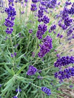 Lavender, Macro, Summer, Purple, Details, Botanical