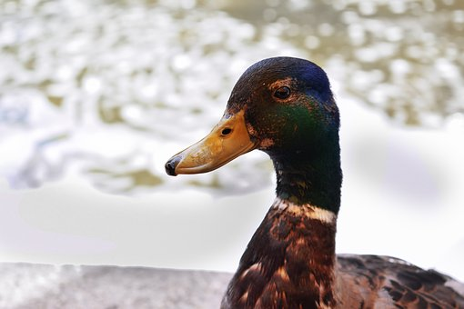 Duck, Drake, Mallard, Water Bird, Nature, Waters, Swim