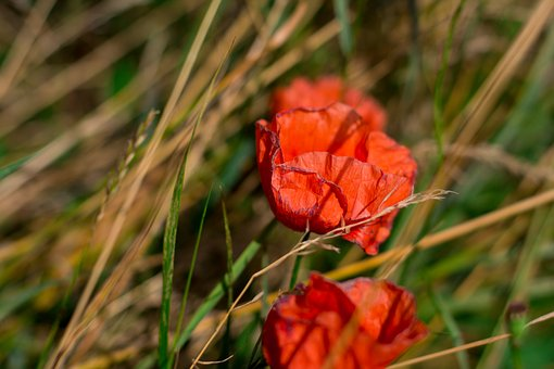 Poppies, Flowers, Meadow, Spring, Garden, Cornflowers