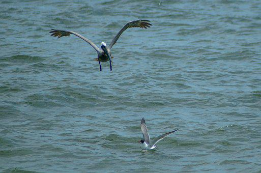 Pelican, Seagull, Bird, Sea, Animal, Nature, Wildlife
