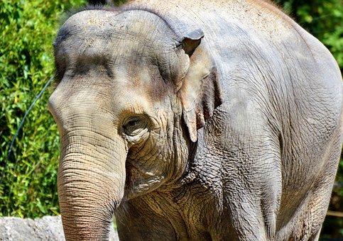 Elephant, Pachyderm, Proboscis, Grey, Head, Zoo, Animal