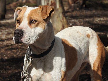Dog, Canine, Poised, Pitbull, Guard Dog, Hunting Dog