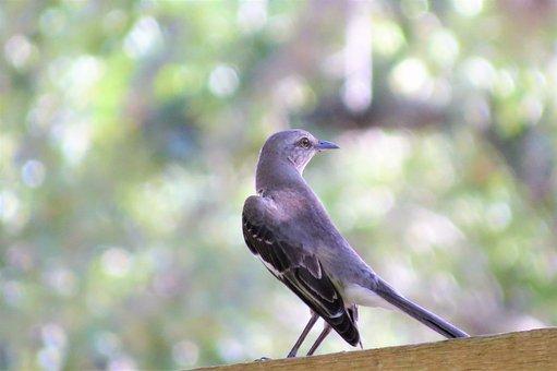 Bird, Mocking Bird, Song Bird, Wild, Nature