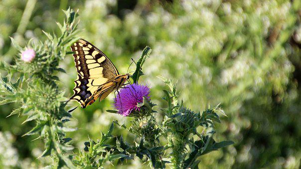 Butterfly, Meadow, Nature, Insect, Thistles
