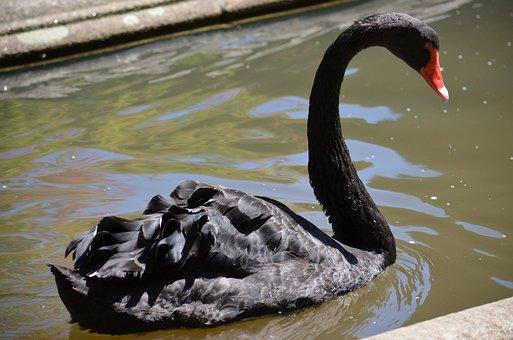 Black Swan, Pond, Urban Nature, Santiago Of Compostela