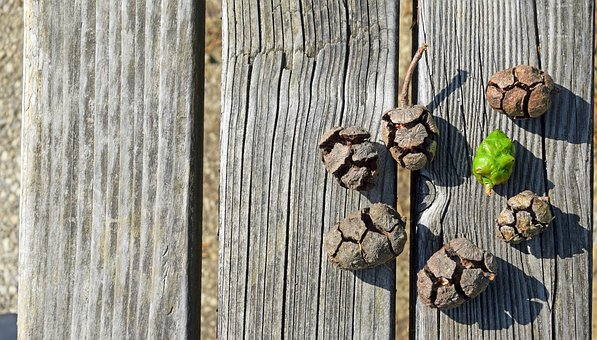 Pine Cones, View From The Top, Wood, Pignette