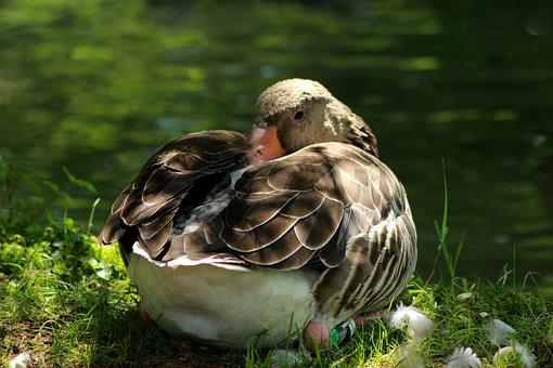 Wildlife Park, Greylag Goose, Federtier, Water, Nature