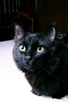 Black, Cat, Portrait, Animal, Pet, Kitty, Kitten