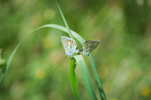 Butterflies, Pairing, Argus-silver-studded Blue
