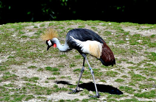 Grey Crowned Crane, Baleurica Regulorum, Bird, Animal