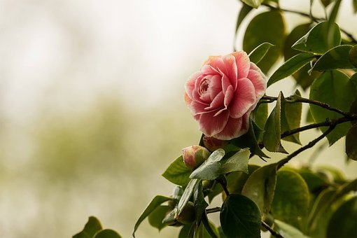 Camellia, Flower, Nature, Plant, Blossom, Bloom, Red