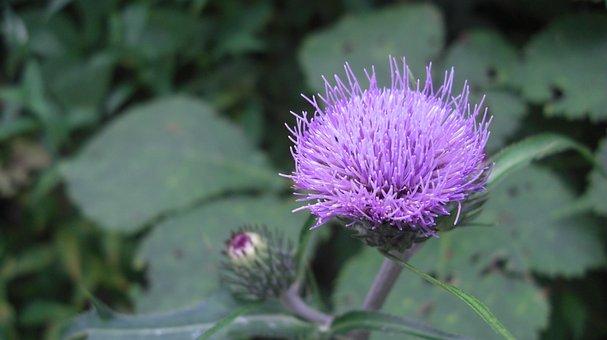 Flower, Purple, Summer