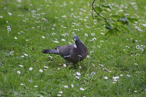 Bird, Pigeon, Curious Pigeon, Grass, Daisies, Spring