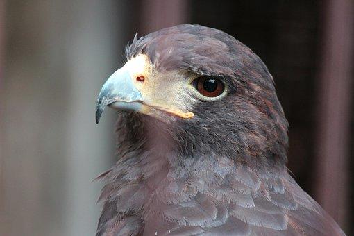 Animal, Bird, Beautiful, Hawk