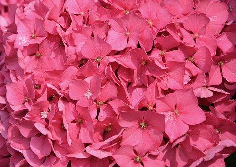 Carpet Of Petals Pink, Hydrangea, Pink, Nature, Plant