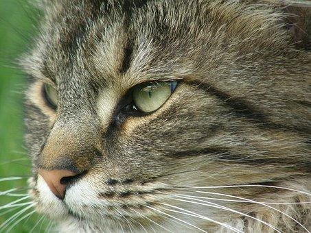 Cat, Portrait, Norwegian Forest Cat, Pet, Mackerel