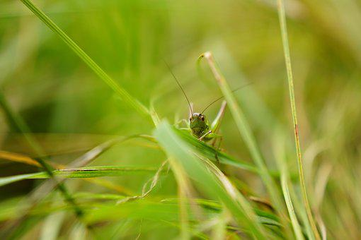 Grasshopper, Grass, Macro, Insect, Close, Meadow