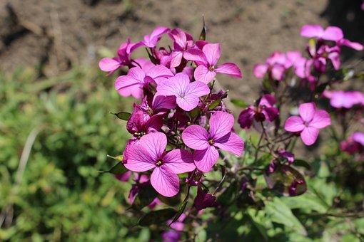 Purple Petals, Blooming, Summer, Flora, Natural, Nature