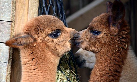 Alpaca, Animal, Wool, Mammal, Fur, Fluffy