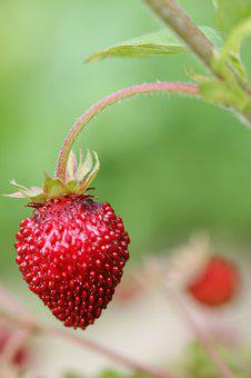 Strawberry, Garden, Plant, Fruits, Nature, Delicious