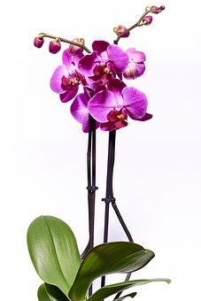 Orchid, Flower, Violet, Nature, Macro, Bud, Petal