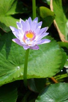 Nymphaea Alba, Lotus, Water Fu Yung, Purple
