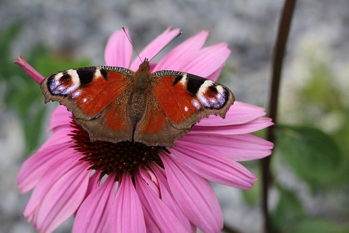 Blossom, Bloom, Butterfly, Peacock Butterfly