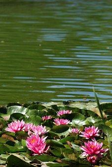 Park, Water Lilies, Lotus, Water, Pond, Flowers, Summer